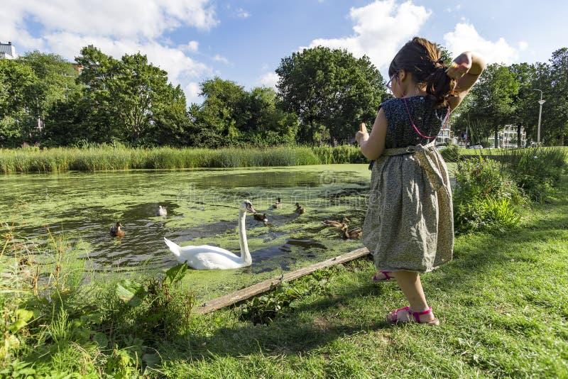 Fütterungsschwäne und Enten stockfoto