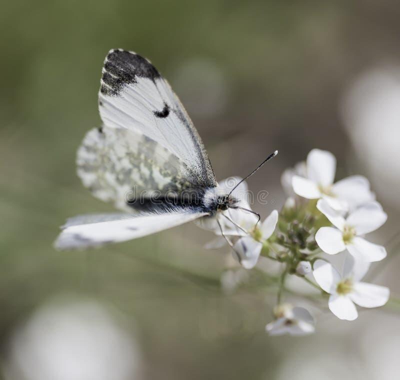 Fütterungssommerzeit des kleinen weißen Schmetterlinges, Ungarn stockbild