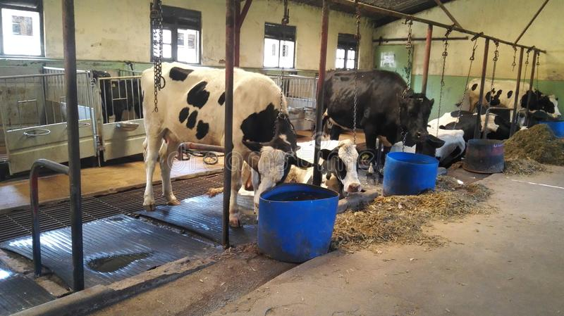Fütterungstier des Kuhbauernhof-Zuchtstiers lizenzfreie stockfotografie