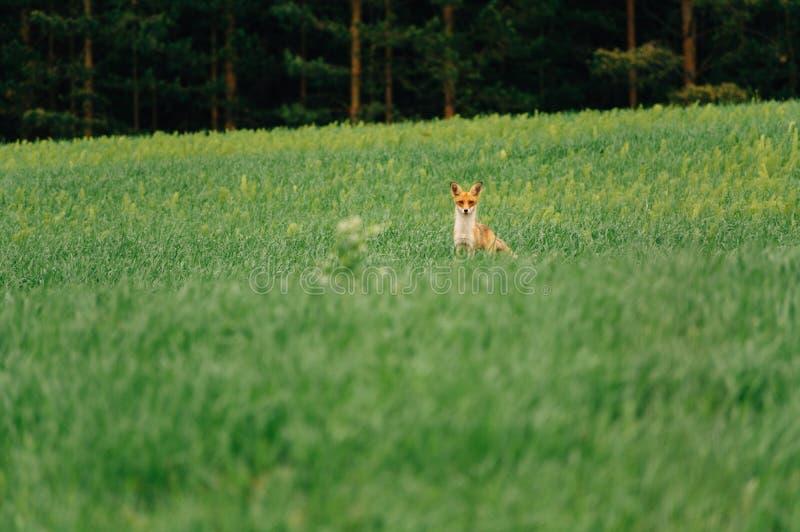 100f 2 8 28 för kameraafton f för 301 ai velvia för sommar för nikon s för fujichrome för film Räven står i mitt av fältet och bl arkivbild