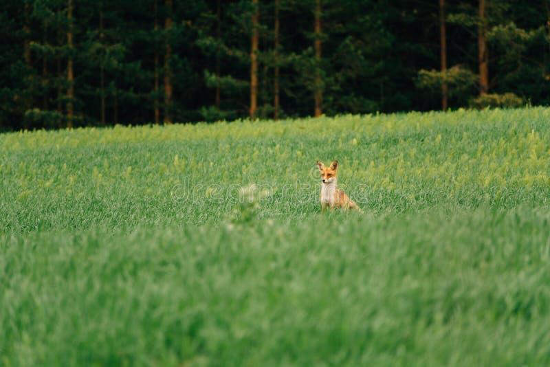 100f 2 8 28 för kameraafton f för 301 ai velvia för sommar för nikon s för fujichrome för film Räven står i mitt av fältet och se royaltyfria foton
