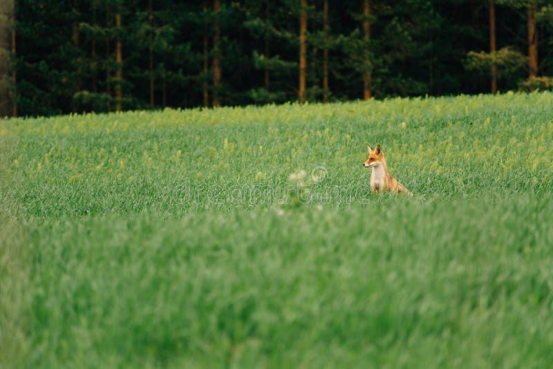 100f 2 8 28 för kameraafton f för 301 ai velvia för sommar för nikon s för fujichrome för film Räven står i mitt av fältet och se arkivbilder