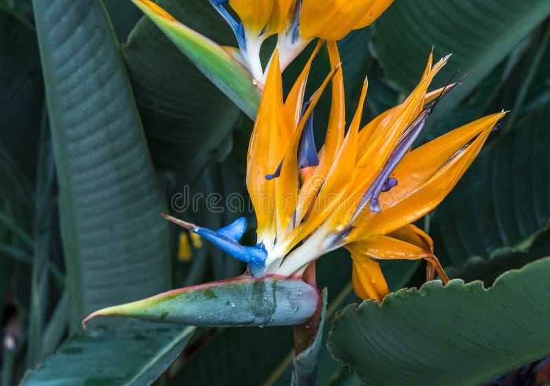 F?gel f?r reginae f?r Strelitzia orange och bl?, av paradisblomman royaltyfri bild