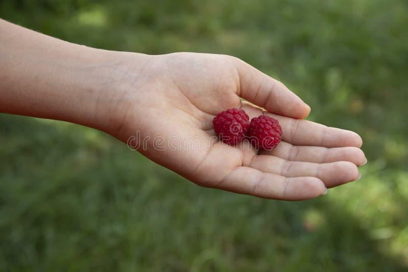 F?lliger Apfel aus den Grund in einem Apfelbaumgarten Süße Himbeerfrüchte in der Hand meines Sohns im Garten mit Hintergrund des  stockbilder