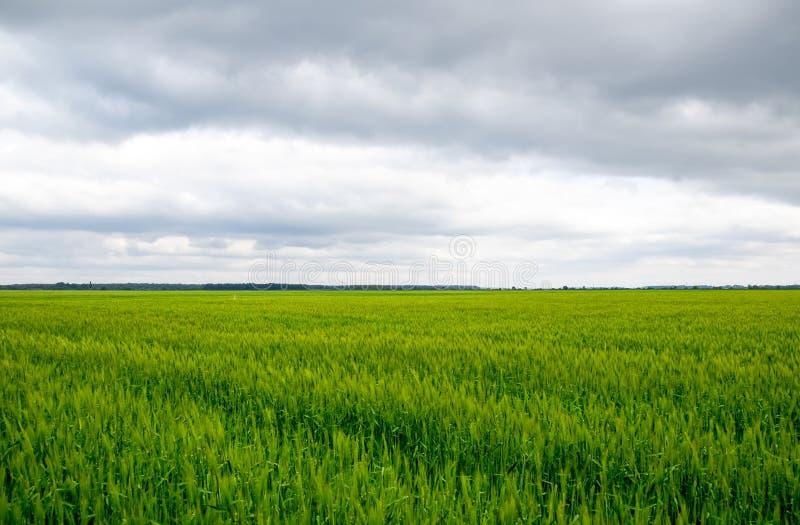 f?lt av gr?nt omoget korn Spikelets av korn Fältet är korn som är lantligt royaltyfri bild