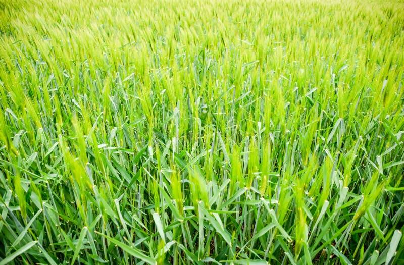f?lt av gr?nt omoget korn Spikelets av korn Fältet är korn som är lantligt royaltyfri fotografi