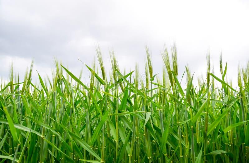 f?lt av gr?nt omoget korn Spikelets av korn Fältet är korn som är lantligt royaltyfria bilder