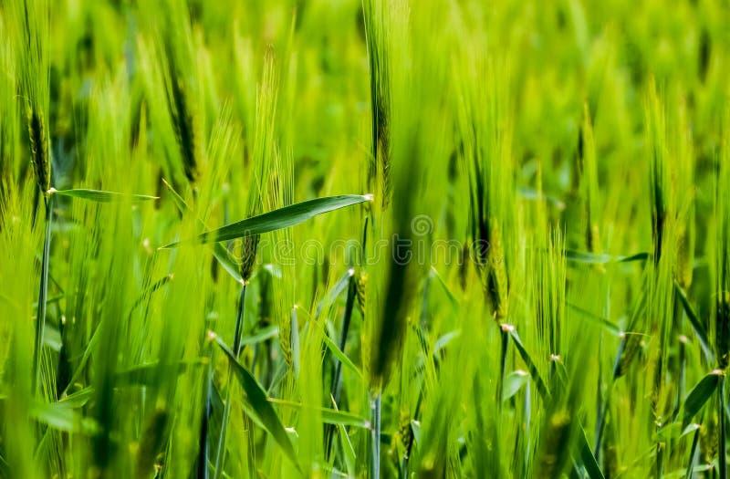 f?lt av gr?nt omoget korn Spikelets av korn Fältet är korn som är lantligt arkivbilder