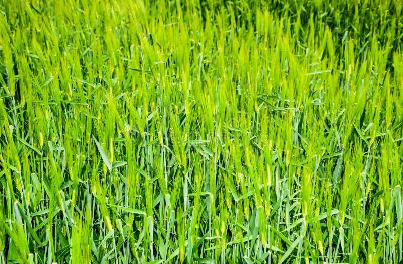 f?lt av gr?nt omoget korn Spikelets av korn Fältet är korn som är lantligt royaltyfri foto