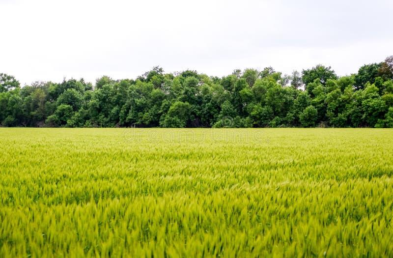 f?lt av gr?nt omoget korn Spikelets av korn Fältet är korn som är lantligt royaltyfria foton
