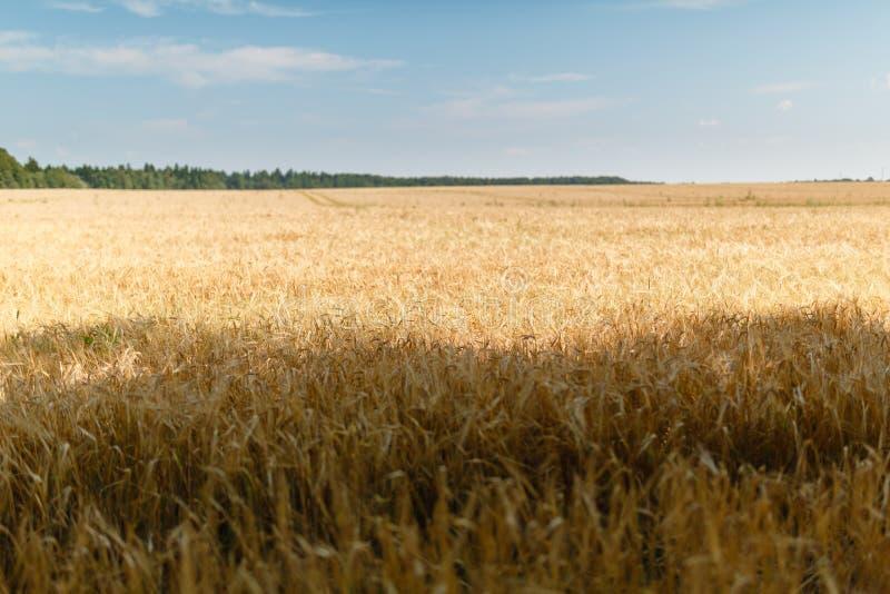F?lt av guld- vete under den bl?a himlen och molnen Bakgrund som mognar öron av det gula vetefältet mot den blåa himlen Kopiering royaltyfri fotografi