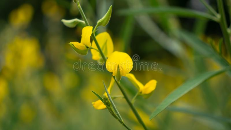 F?lt av indisk hampa f?r gula kronblad p? suddig tj?nstledighetbakgrund, vet som Madras hampa eller Sunn Crotolaria royaltyfri bild