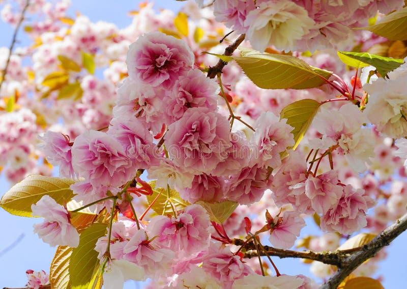 F?r Kanzan f?r pr?lig och ljus Prunus blommor f?r dubbelt lager japanska blomning k?rsb?rsr?da mot bakgrund f?r bl? himmel Sakura arkivfoton