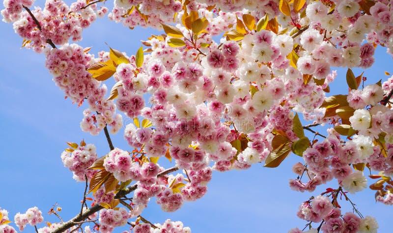 F?r Kanzan f?r pr?lig och ljus Prunus blommor f?r dubbelt lager japanska blomning k?rsb?rsr?da mot bakgrund f?r bl? himmel Sakura fotografering för bildbyråer