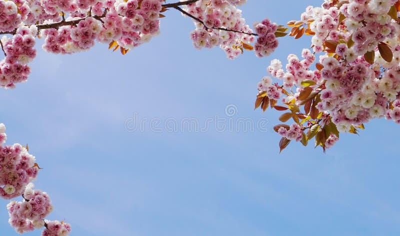 F?r Kanzan f?r pr?lig och ljus Prunus blommor f?r dubbelt lager japanska blomning k?rsb?rsr?da mot bakgrund f?r bl? himmel Sakura arkivbild