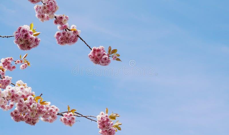 F?r Kanzan f?r pr?lig och ljus Prunus blommor f?r dubbelt lager japanska blomning k?rsb?rsr?da mot bakgrund f?r bl? himmel Sakura royaltyfria bilder