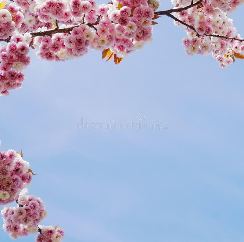 F?r Kanzan f?r pr?lig och ljus Prunus blommor f?r dubbelt lager japanska blomning k?rsb?rsr?da mot bakgrund f?r bl? himmel Sakura royaltyfri fotografi