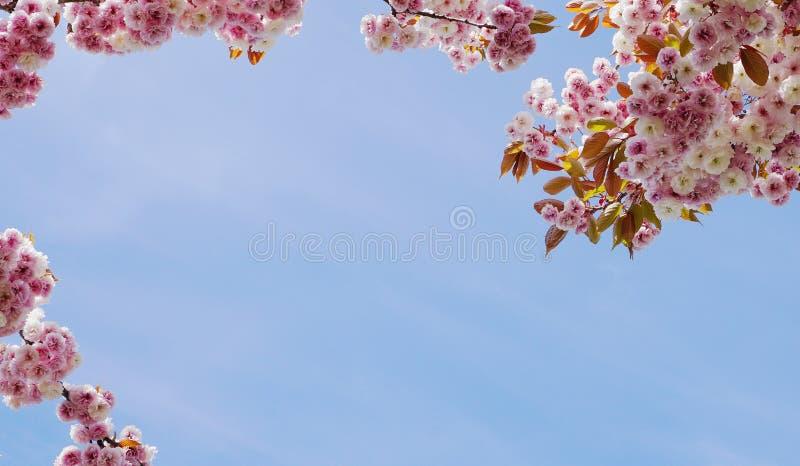 F?r Kanzan f?r pr?lig och ljus Prunus blommor f?r dubbelt lager japanska blomning k?rsb?rsr?da mot bakgrund f?r bl? himmel Sakura royaltyfri bild