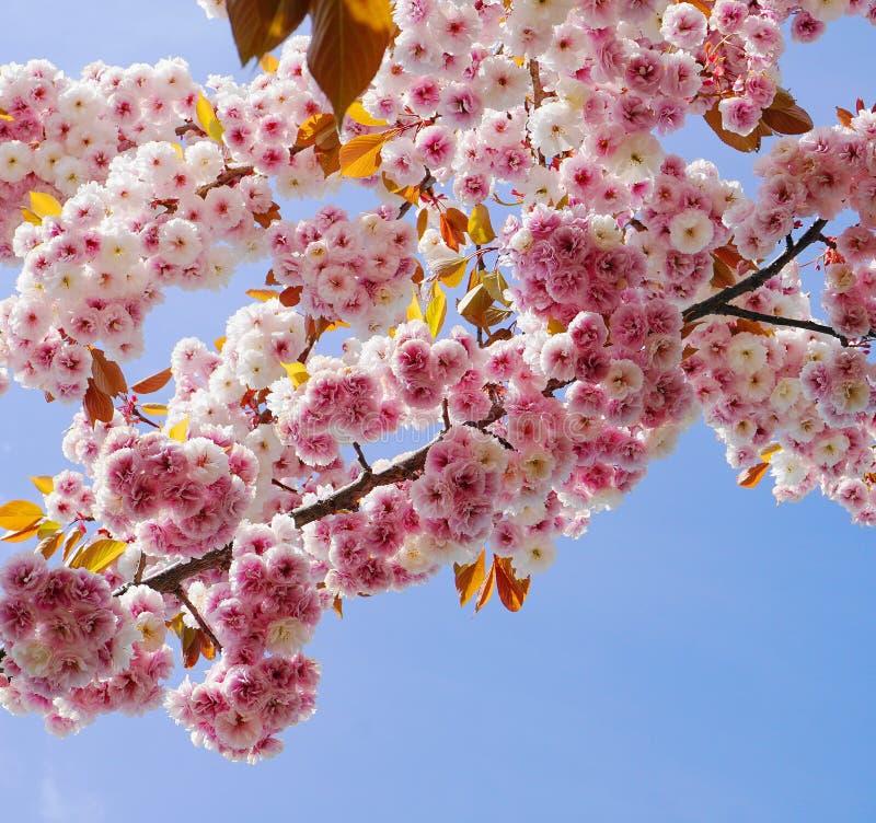 F?r Kanzan f?r pr?lig och ljus Prunus blommor f?r dubbelt lager japanska blomning k?rsb?rsr?da mot bakgrund f?r bl? himmel Sakura royaltyfri foto