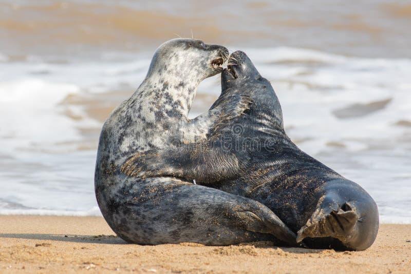 F?r?lskade djur Skyddsremsavänner som har att könsbestämma på stranden royaltyfria foton