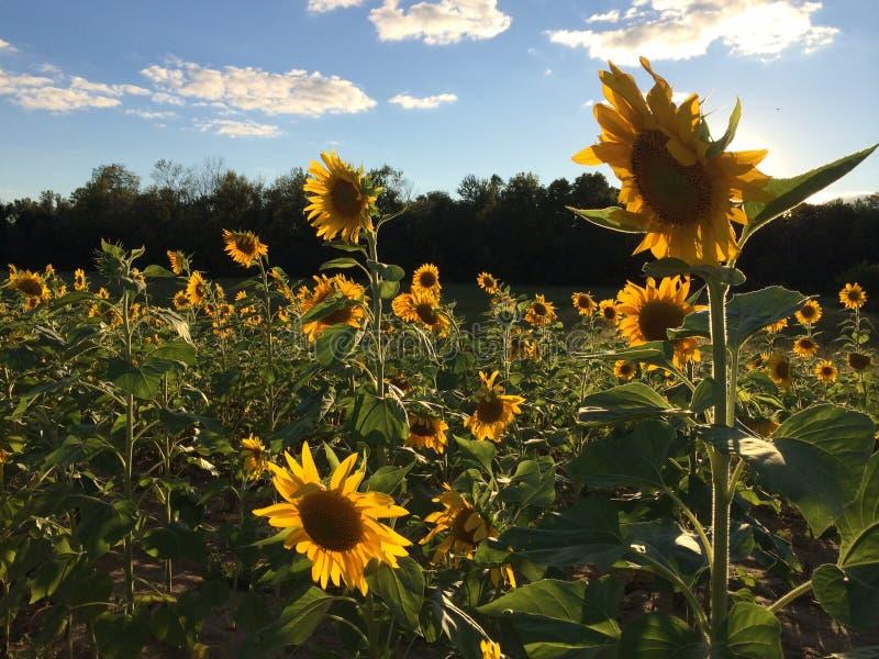 f?r mittf?lt f?r bi yellow f?r solros f?r sun f?r sommar f?r ljus blomma sen royaltyfria foton