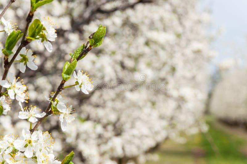 F?r plommonblommor f?r s?songsbetonad v?r vitt blomstra Blomning av plommonfrukttr?dg?rden i Polen royaltyfri foto