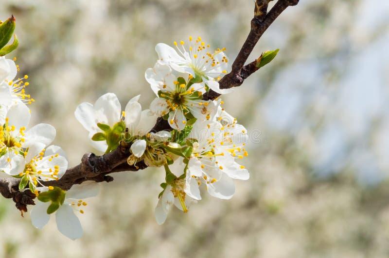 F?r plommonblommor f?r s?songsbetonad v?r vitt blomstra Blomning av plommonfrukttr?dg?rden i Polen arkivfoto