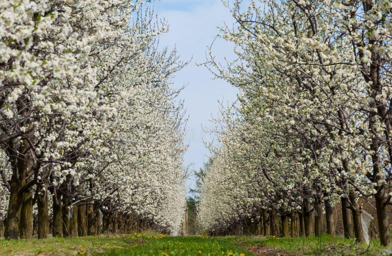 F?r plommonblommor f?r s?songsbetonad v?r vitt blomstra Blomning av plommonfrukttr?dg?rden i Polen arkivfoton