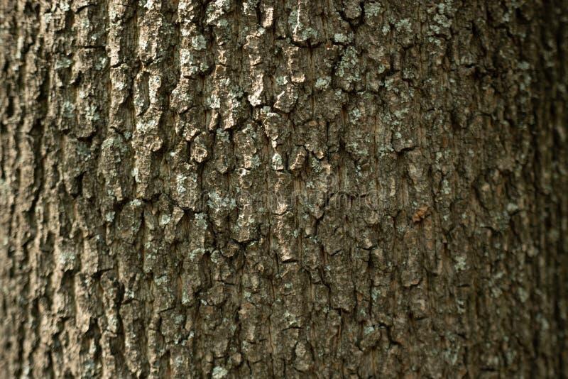 f?r poplartextur f?r sk?ll gammal tree arkivfoton