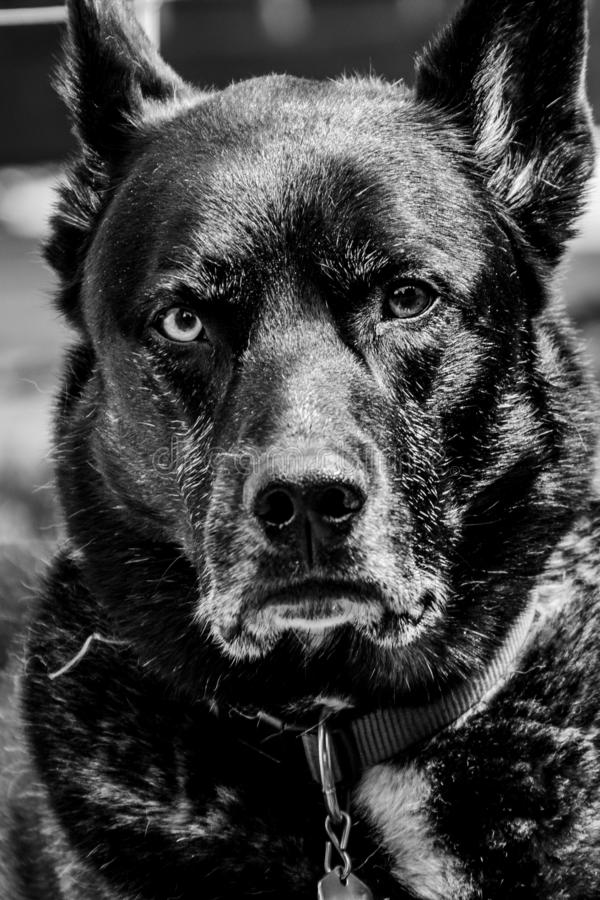 F?r Siberian Husky f?r tysk herde st?ende f?r hund f?r avel blandning utomhus- arkivfoton