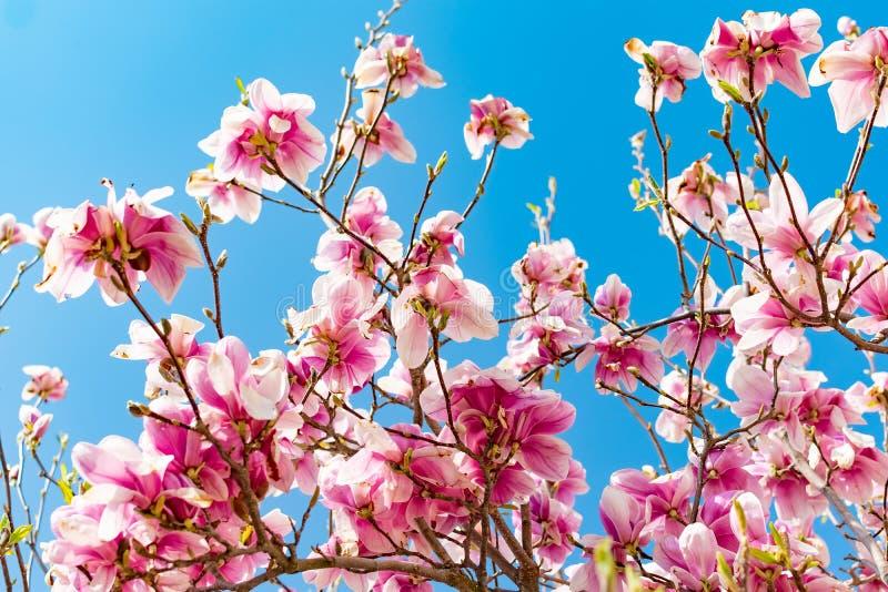 F?rbluffa bakgrund med magnoliatr?det F?rgrik purpurf?rgad s?song f?r blommor p? v?ren Härliga rosa magnoliakronblad på royaltyfria bilder