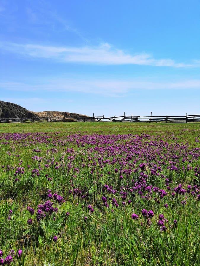 F?rgf?lt grönt fält med purpurfärgade blommor med ett staket och berg i avståndet royaltyfria bilder