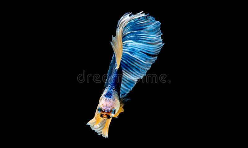 F?rgrikt med huvudsaklig f?rg av den bl?a bettafisken, isolerades den Siamese sl?ss fisken p? svart bakgrund F?r fisk handling oc arkivbilder