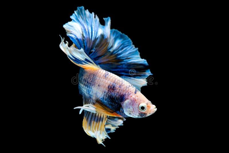 F?rgrikt med huvudsaklig f?rg av den bl?a bettafisken, isolerades den Siamese sl?ss fisken p? svart bakgrund F?r fisk handling oc arkivfoton