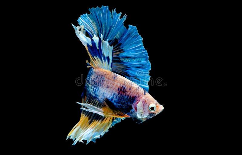 F?rgrikt med huvudsaklig f?rg av den bl?a bettafisken, isolerades den Siamese sl?ss fisken p? svart bakgrund F?r fisk handling oc arkivfoto