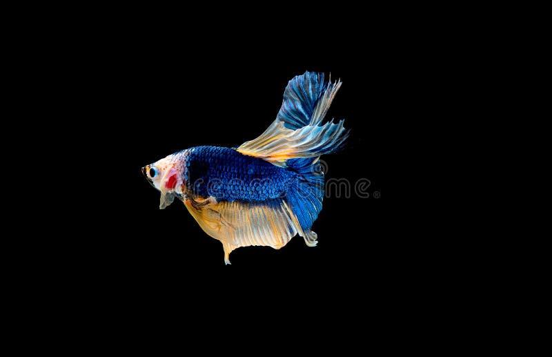 F?rgrikt med huvudsaklig f?rg av den bl?a bettafisken, isolerades den Siamese sl?ss fisken p? svart bakgrund F?r fisk handling oc royaltyfri foto