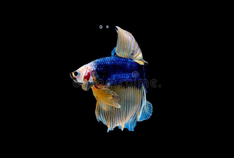 F?rgrikt med huvudsaklig f?rg av den bl?a bettafisken, isolerades den Siamese sl?ss fisken p? svart bakgrund F?r fisk handling oc royaltyfri bild