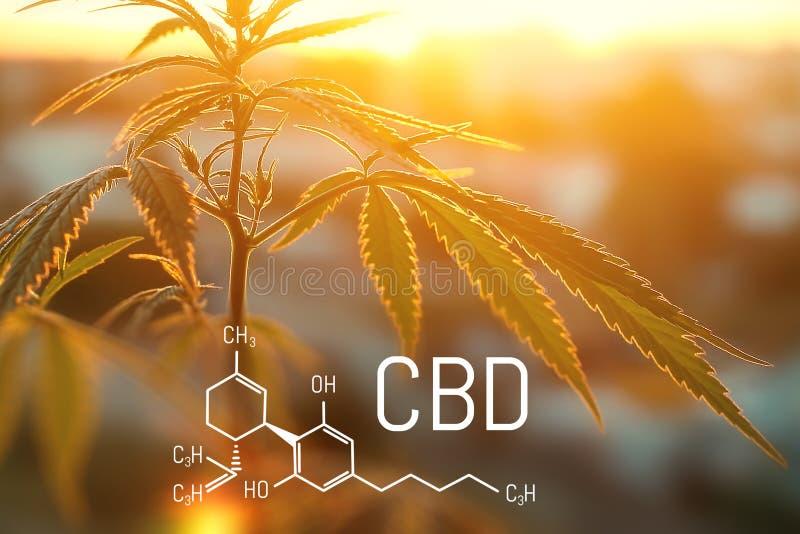F?rmula de CBD, marijuana m?dica, medicina alternativa Cultivo do cannabis medicinal para a produ??o de tintura saud?vel fotos de stock