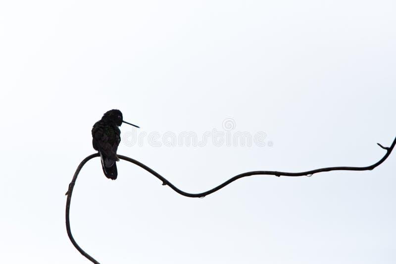 F?rsedd med krage inca som sitter p? filialen, kolibri fr?n regnskogen, Colombia, Rio Blanco, f?gel som s?tta sig, mycket liten h arkivfoton