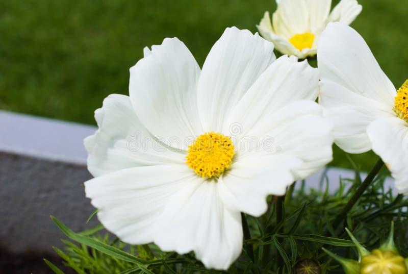F?rst blomma av blommor i sommaren arkivbild