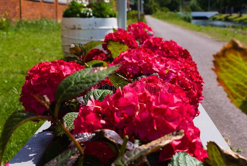 F?rst blomma av blommor i sommaren arkivbilder