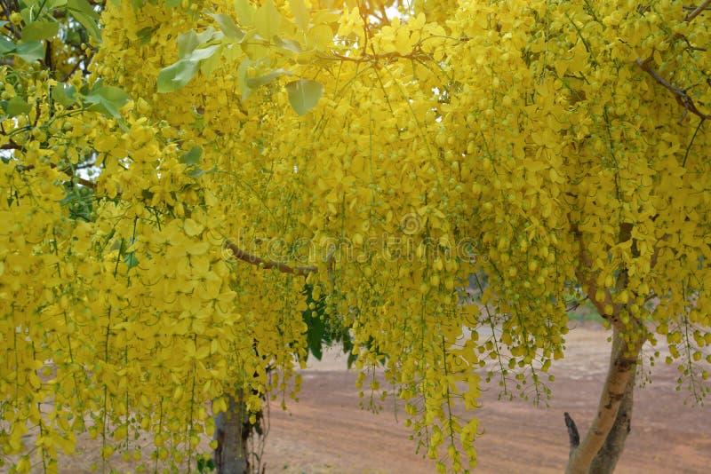 F?stula de la casia en la floraci?n amarilla en verano fotos de archivo