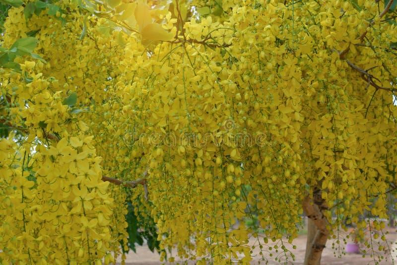 F?stula de la casia en la floraci?n amarilla en verano imágenes de archivo libres de regalías