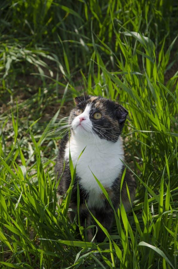Fałdu kota szkoccy spacery w polu obraz stock