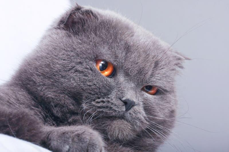Fałdu szkocki kot zdjęcia royalty free
