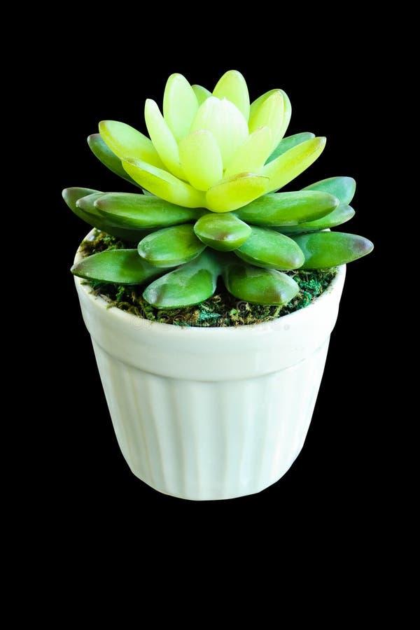 Fałszywa kaktusowa roślina robić gumowym drzewem fotografia stock