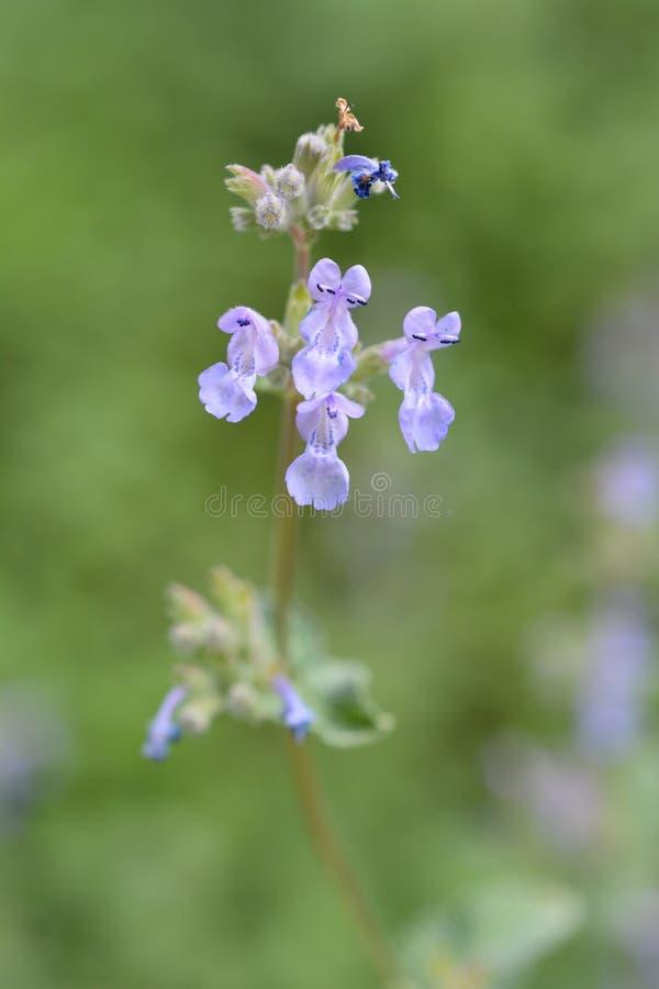 Faassens catnip. Flowers close up - Latin name - Nepeta x faassenii royalty free stock photography