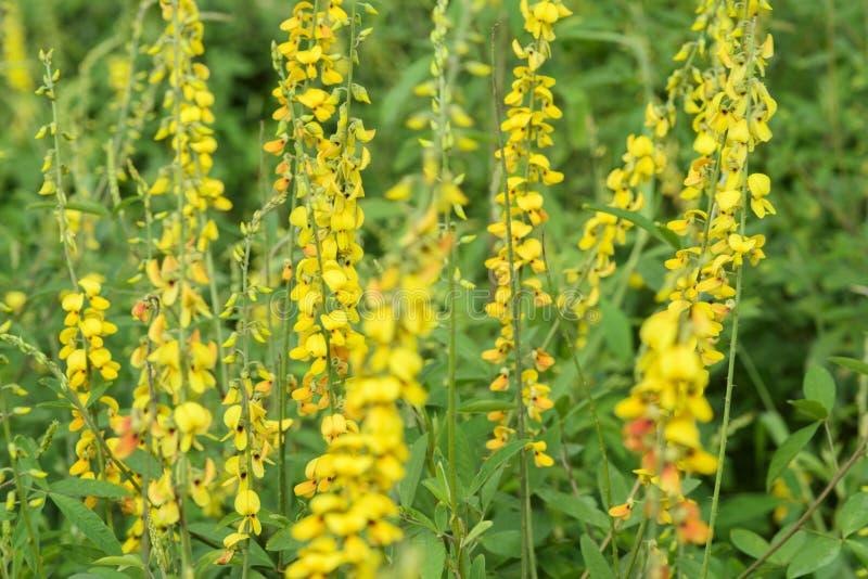 Fabaceae kwiat zdjęcia royalty free