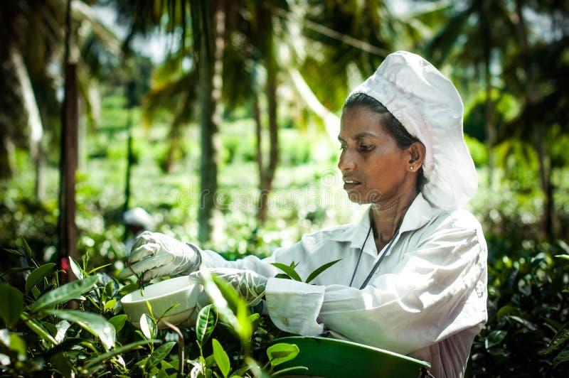 Fabbrica del tè, proprietà di handunugoda Lo Sri Lanka, Ahangama immagine stock