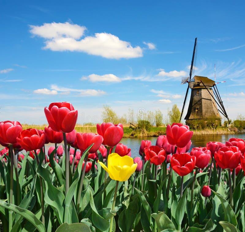 Fabelhafte Landschaft der Mühle und der Tulpen in Holland stockfoto